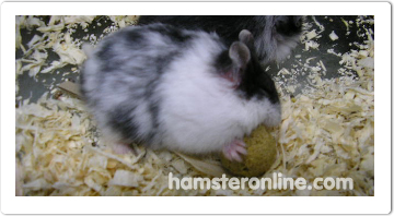 hamster-content-19