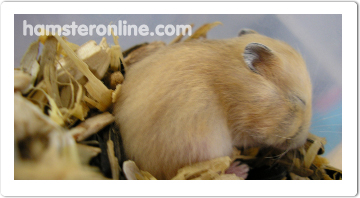 hamster-content-20