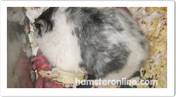 hamster-content-24