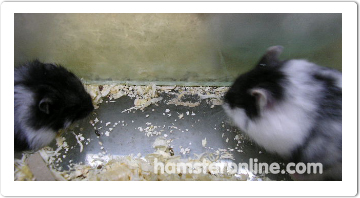 hamster-content-26