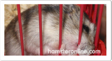 hamster-content-43