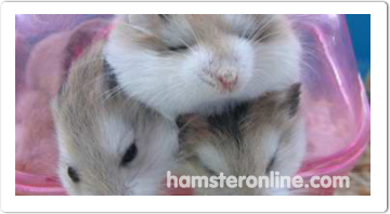 hamster-content-48
