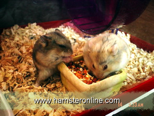 hamster-pic-be