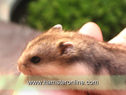 hamster-pic-cl