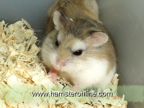 hamster-pic-cw