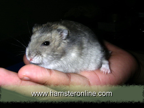 hamster-pic-dn