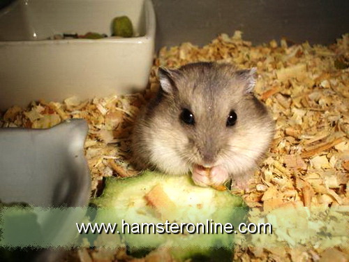hamster-pic-w