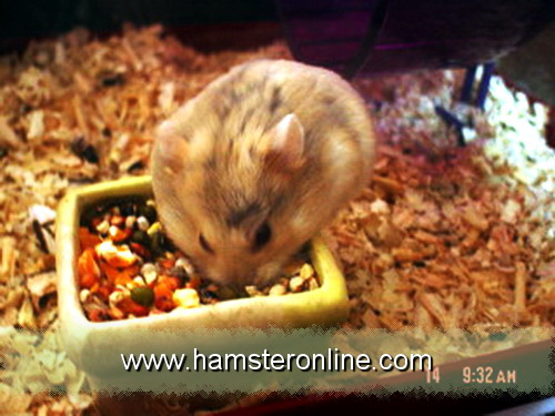 hamster-pic-y
